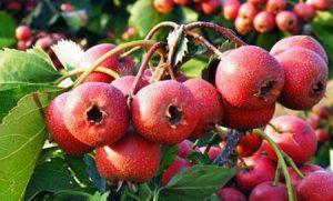 buah haw